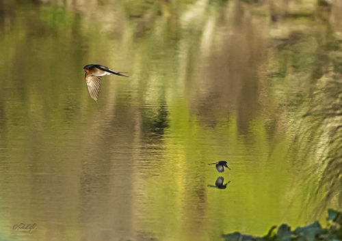 Lagoon Swallow&fantail 0108