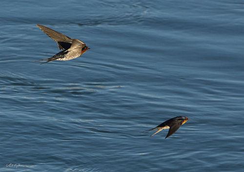 Otaki River Swallows 1913
