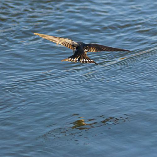 Otaki River Swallow 1921