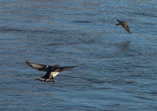 Otaki River swallows 1948