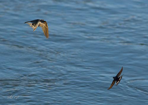 Otaki River Swallows, 2038