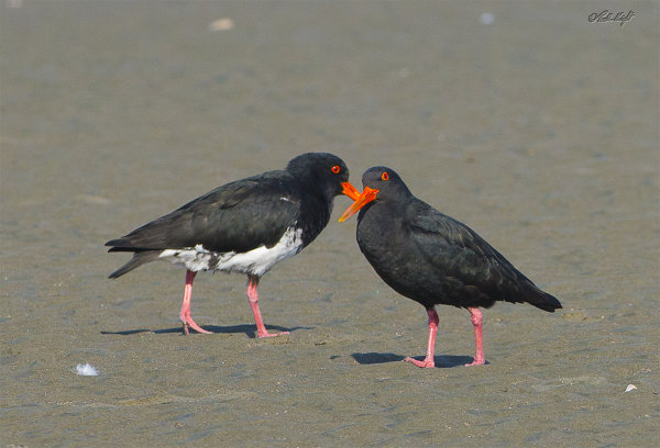 Variable oyster-catchers_1719
