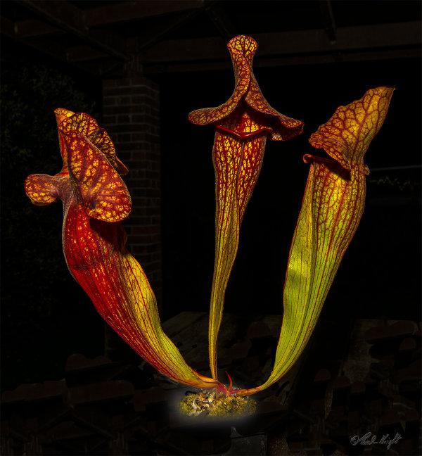 Pitcher Plant_1609-1