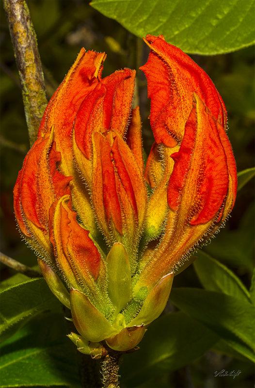 Rhododendron flower 1361-1