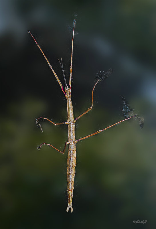 Stick Insect 0009