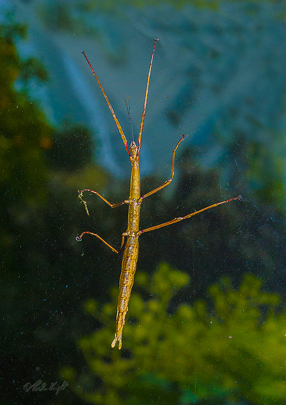 Stick Insect, 0014