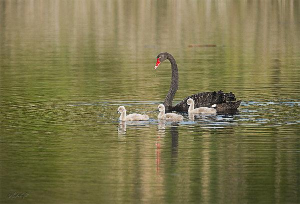 Swan&triplets_2245