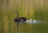 Swan&twins_2244