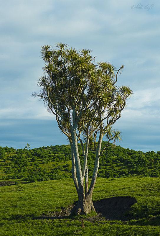 Cabbage Tree 0518