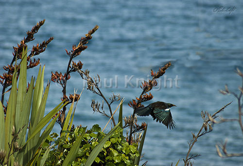 It is the season of plenty for nectar eating birds.  Flax is abundant and in flower.  Waiorua bay in the background.