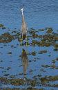 White-faced heron at Waikanae River