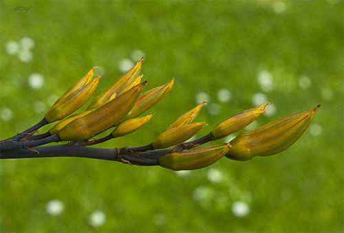 flax pods 0488