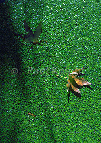 Maple and shadow on waterweed,