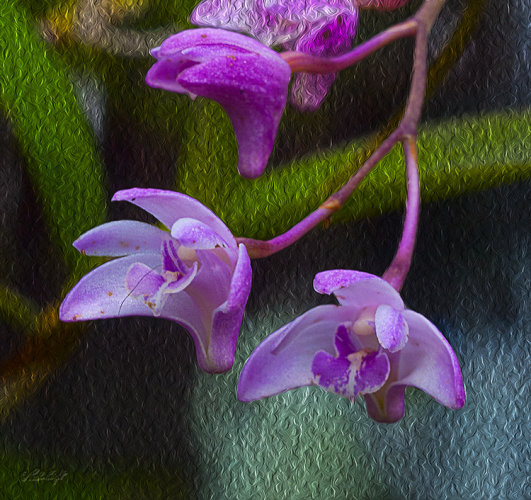 Orchid 0447 on oil