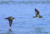 Variable oyster-catchers_1756