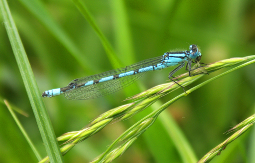 Blue tailed damselfly eating midge