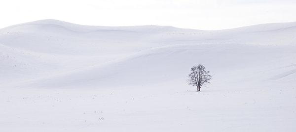 Hayden Valley Tree