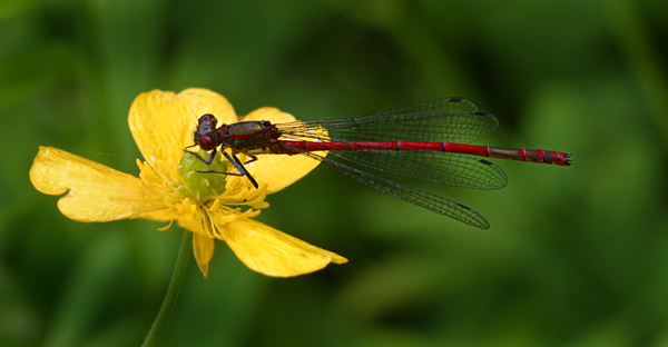 Large Red Damselfly on Buttercup