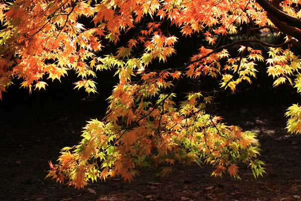 Acer at Westonbirt