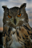 African Eagle Owl (*)