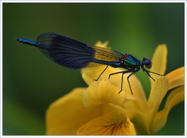 Banded Demoiselle On Wild Iris