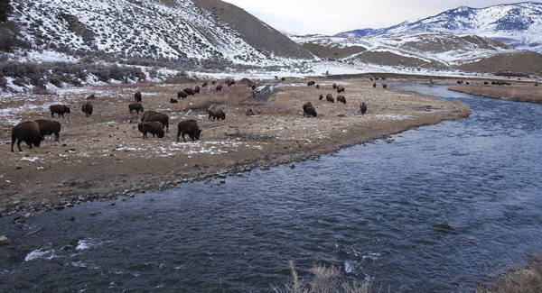 Bison by River