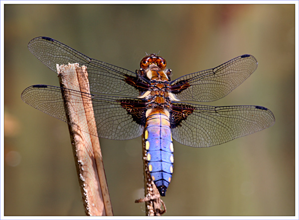 Broard Bodied Chaser