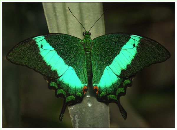 Burmese Butterfly
