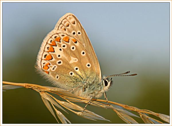 Commom Blue II
