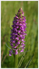 Common Marsh Orchid