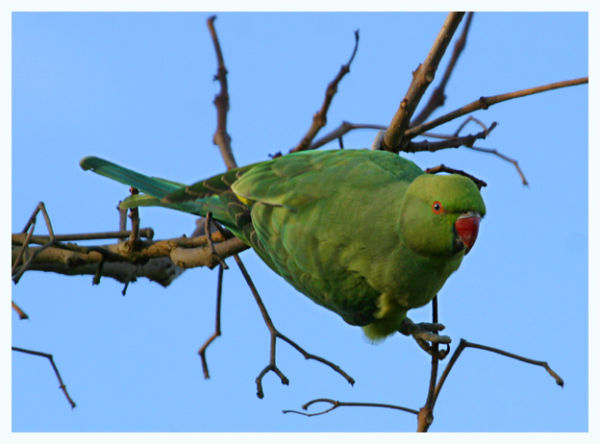 Ring Necked Parakeet<br>