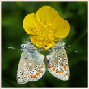 Paired Common Blue