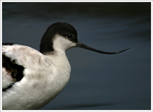 Young Avocet