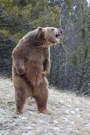 001 Brown Bear