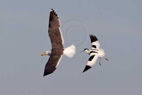 Avocet chasing gull
