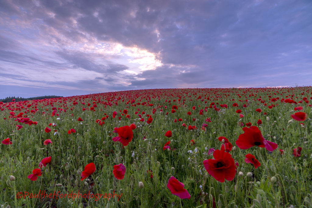Norfolk Poppies (2014)