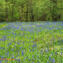 Foxley Bluebells 3