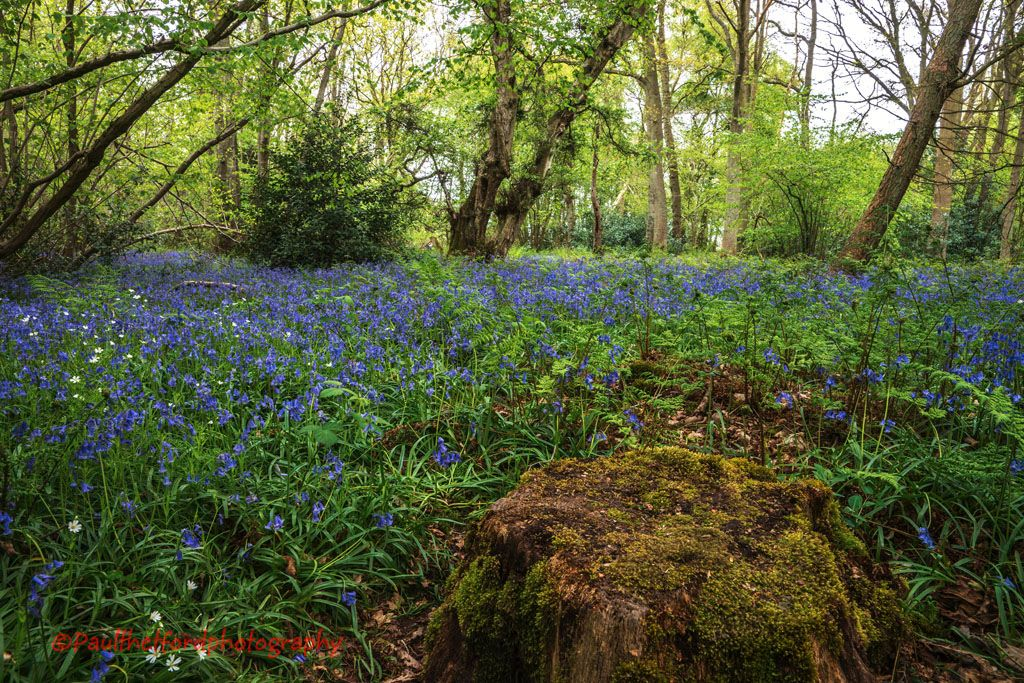 Foxley Blue bells 1
