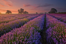 Somerset Lavender at Dawn