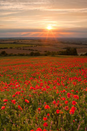 Oxfordshire Poppy Field