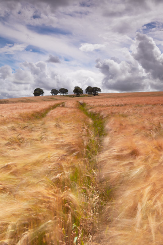 Barley waving in the wind