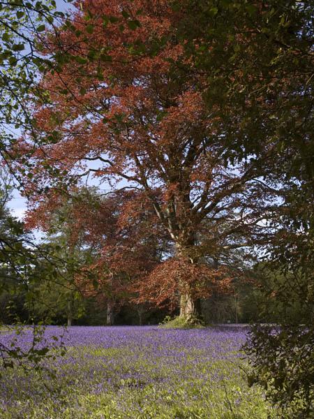 Bluebells at Enys gardens Falmouth