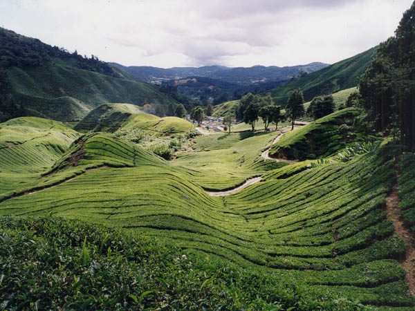Cameron Highlands 2