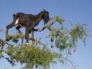Tree climbing Goat Morocco