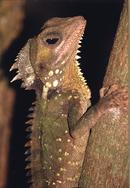 Boyds Dragon, Australia
