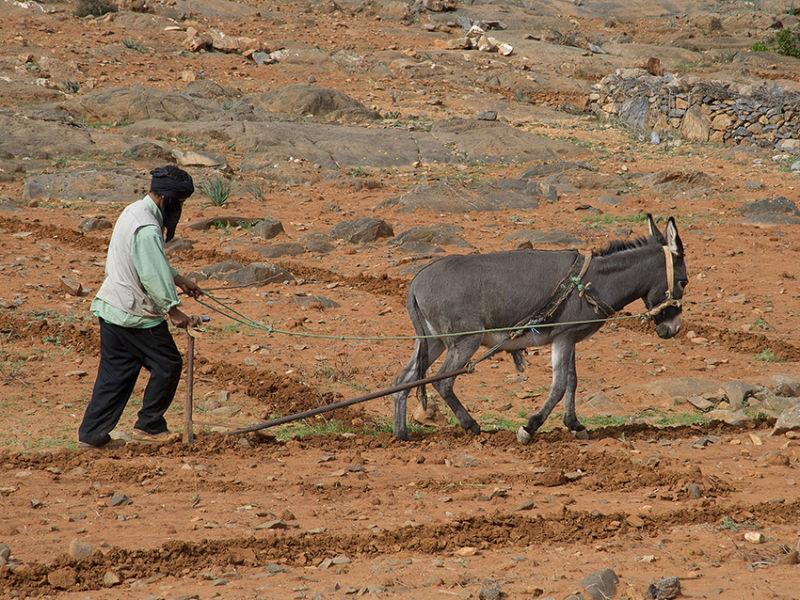 Ploughing Morocco