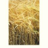 Barley 4.1