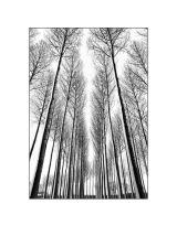 Poplar Wood in Snow