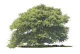 Single Oak in Summer.