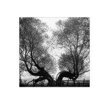 Split Willow
